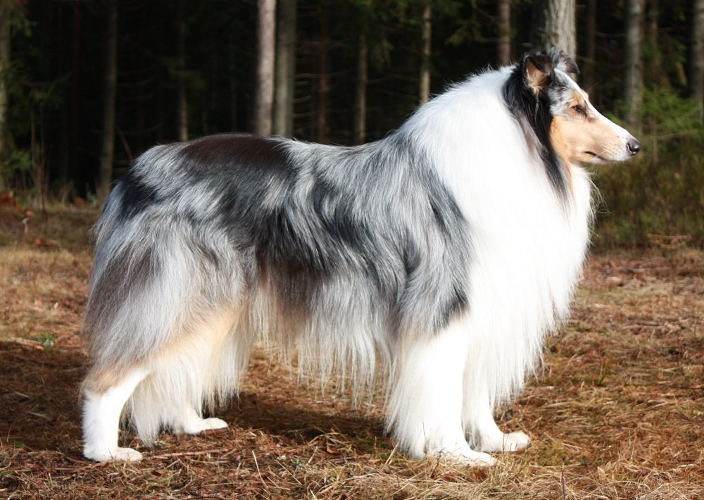Pitkäkarvainen collie, Roxier's Snow Blue
